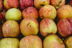 Delicious red apples freshly harvested.  stock photography