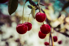 Delicious red cherries hanging from a tree on blurred background. Stock Photo
