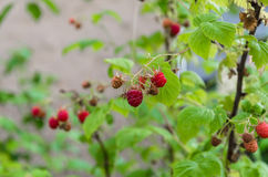 Delicious red raspberry. Better than raspberries in summer, there is nothing more delicious Royalty Free Stock Image