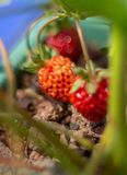 Delicious red strawberry in the garden stock photo