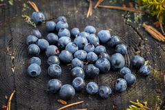 Delicious ripe blueberries lying on a large tree stump in a pine forest royalty free stock photos