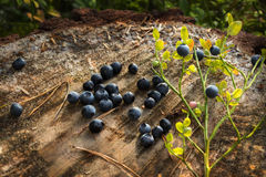 Delicious ripe blueberries lying on a large tree stump in a pine forest royalty free stock image