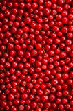 A delicious, ripe and bright red currant in an upright position. Currant different shades of bright red color. Stock Photo