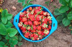 Delicious ripe strawberries on the bowl Stock Images