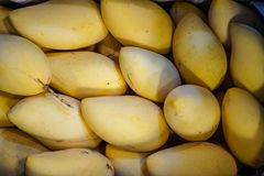Delicious ripe or sweet yellow mangoes fruit fresh from garden showing natural scar and sap selling on pile in local market Royalty Free Stock Photos