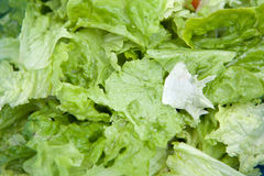 Delicious salad of lettuce leaves Royalty Free Stock Images
