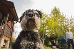Delicious schnauzer sitting on the lawn royalty free stock images