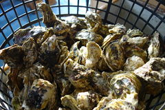 Delicious seafood - raw oyster. Busket of delicious seafood - oyster under sunshine Royalty Free Stock Photo
