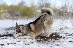 A delicious snow to sled dog Royalty Free Stock Photo