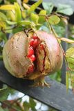 Fresh Red Pomegranate fruit in the farm. Delicious Tasty red pomegranate fruit ready to eat Royalty Free Stock Photos
