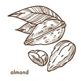 Delicious tropical almond in shell with small leaves Royalty Free Stock Images