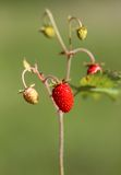 Delicious wild berry strawberry Royalty Free Stock Photo