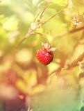 Delicious wild berry strawberry Stock Photos