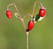 Delicious wild berry strawberry Royalty Free Stock Photography