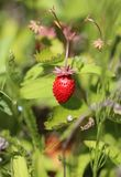 Delicious wild berry strawberry. Photographed close up Stock Photo
