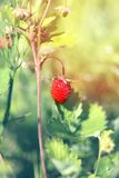 Delicious wild berry strawberry Stock Image