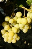 Delicious yellow autumn grape fruit Stock Photography