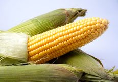 Delicious yellow summer corn on the cob Stock Images