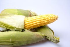 Delicious yellow summer corn on the cob Stock Image