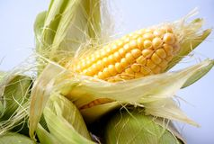 Delicious yellow summer corn on the cob Stock Photography