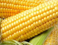 Delicious yellow summer corn on the cob Royalty Free Stock Images