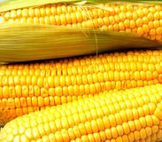 Delicious yellow summer corn on the cob Royalty Free Stock Photography
