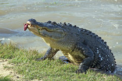 Delicious Youngster. This alligator (gator as we call him) was coming ashore with red meat in his mouth.  It appeared he tried to say, my oh my, that youngster Stock Images