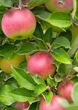 Delicous Apples. Fresh apples waiting to be picked at an apple orchard Royalty Free Stock Images