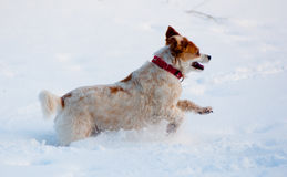 Delight dog jumps through snow. A dog jumps with delight through think snow Royalty Free Stock Images