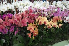 Multicolored orchids in Amsterdam stock images