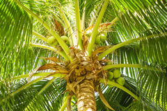 Delightful coconut Stock Images