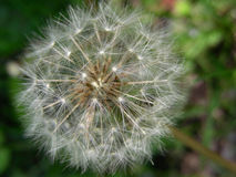 Delightful Dandelion! Stock Photos