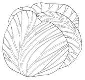 Delightful garden - Round cabbage. Single round cabbage in the Delightful garden collection Royalty Free Stock Images