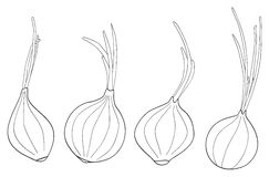 Delightful garden - Set of four onions. Set of four onions with theirs leaves on white in the Delightful garden collection Stock Image