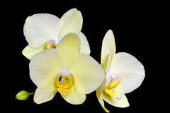 Delightful gentle yellow orchid flowers Stock Image