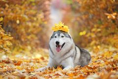 A delightful gray husky lies in the yellow autumn leaves with a crown of leaves on his head and takes pleasure. Stock Photo