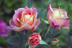 Delightful pink peach floribunda rose bush named Briosa in the garden. Blooming in spring and summer. Garden landscape. Royalty Free Stock Photography