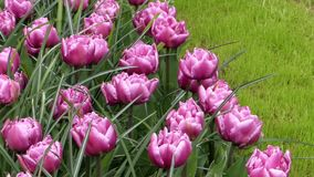 Delightful Purple Tulips in Park Flowers. Close up Shot stock video footage