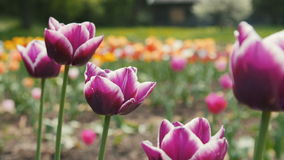 Delightful Purple Tulips in Park Flowers. Close up Shot. Delightful Purple Tulips in Park Flowers. Close up Slider Shot stock video footage