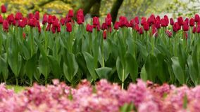 Delightful Red Tulips in Park Flowers. on the Background Working Fountain. The Action in Slow Motion stock video