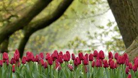 Delightful Red Tulips in Park Flowers. on the Background Working Fountain. The Action in Slow Motion stock video footage