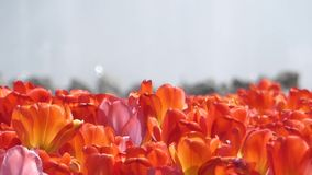 Delightful Red Tulips in Park Flowers. Close up Shot stock video footage