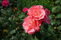 A delightful sparkling rose after the rain. Pink roses in a shining through the rain Stock Photography