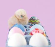 Delightfully пушистый маленький цыпленок пасхи Стоковое Изображение RF
