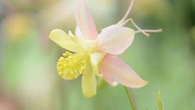 Delikat Aquilegia blomma utomhus arkivfilmer