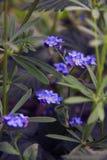 Delikat blått blommar bland gräset Glömma-mig-nots växter Vår och sommar Arkivfoton