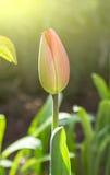 delikat blomma av tulpan arkivbild