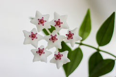 Delikat blomma, vit liten blomma, sju färger Royaltyfri Foto