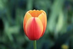 Delikat blommande tulpan på en försiktig bakgrund fotografering för bildbyråer
