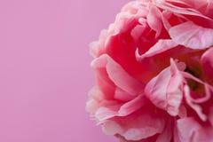 Delikat fluffig rosa pion p? rosa bakgrund royaltyfria bilder